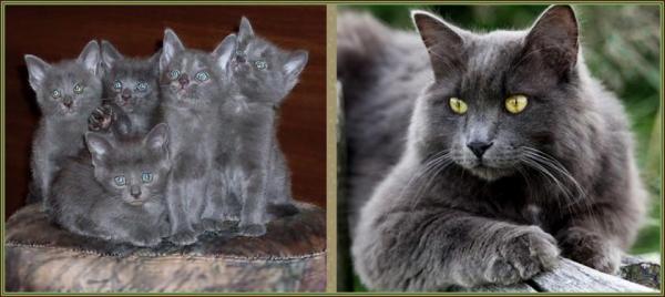 Коты нибелунги